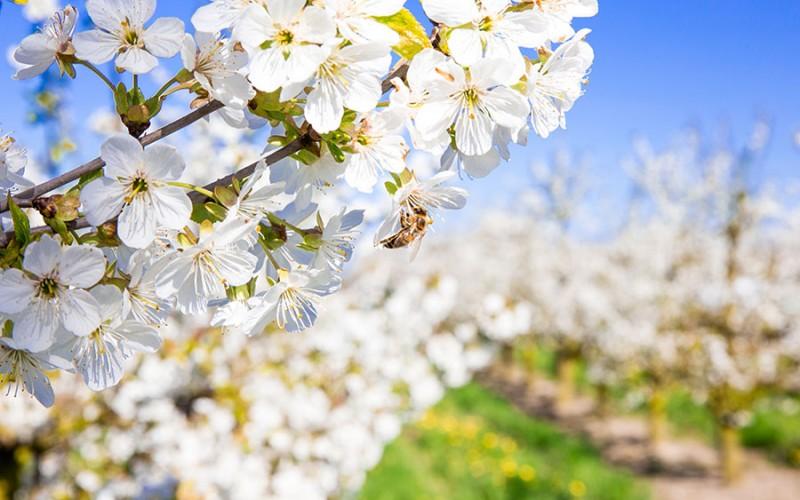 Typisch für das Alte Land ist die Apfelblüte